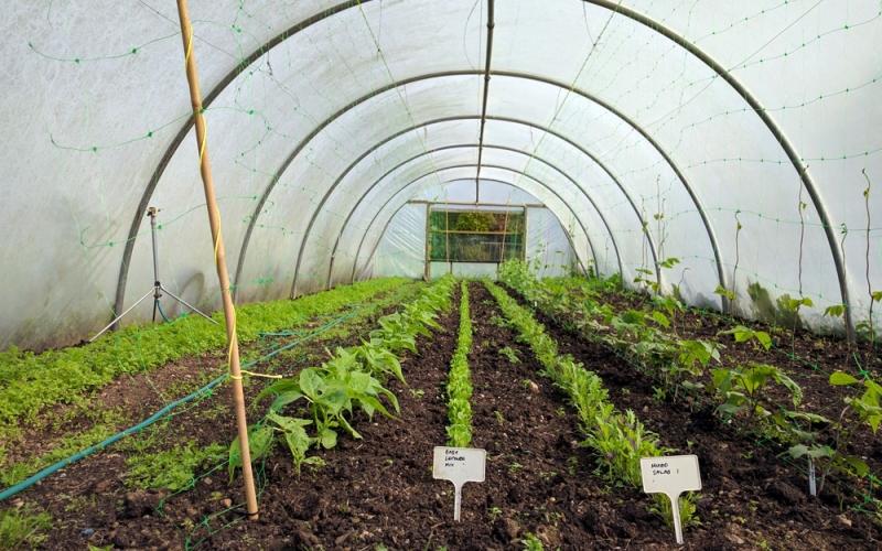 Organic salad leaves