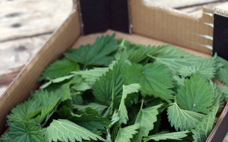 Fresh nettles foraged from around the horsebox